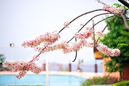 Pink and white shower tree (Cassia Javanica) with swimming pool in the background photo