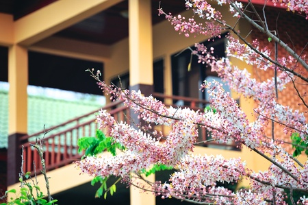 Pink and white shower tree (Cassia Javanica) with hotel balcony in the background photo
