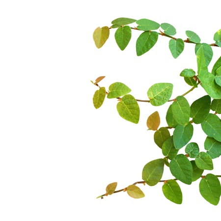 Green creeper plant isolated on white background Stock Photo