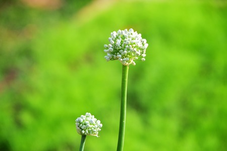 Onion shallots flowering with white flower in green garden