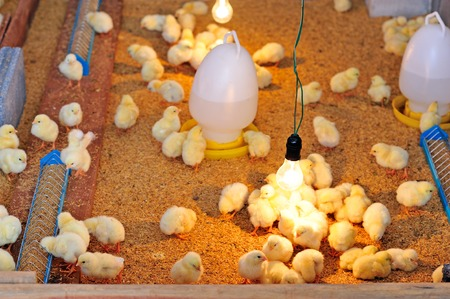 poultry farm: Chicken broilers, Poultry farm Stock Photo