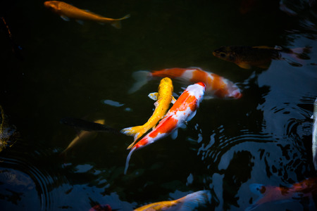 Couple of koi or carp fish swimming in a fish pond
