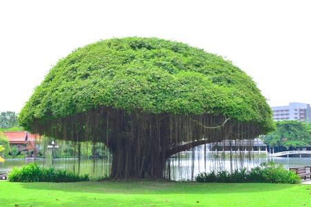 Mushroomshaped Banyan boom op groen gazon