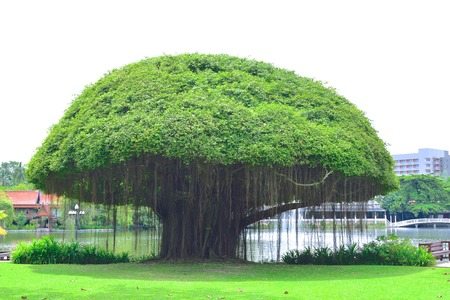 Mushroomshaped Banyan tree on green lawn Stock Photo