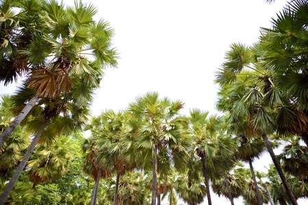 Toddy Palm or Sugar Palm trees (Borassus flabellifer) photo