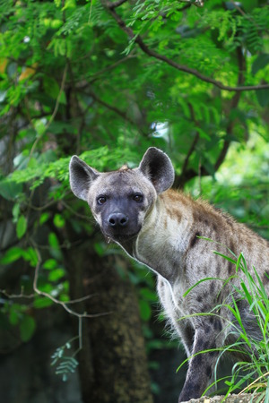 wildllife: Hyena looking at you