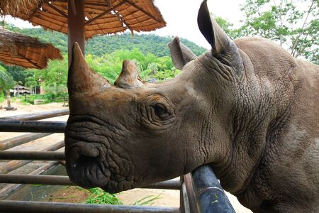 robustness: Rhino looking for food from traveler in Thailand