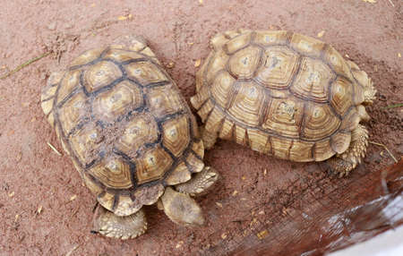Two turtle walking on the ground. Focus on the left Banco de Imagens
