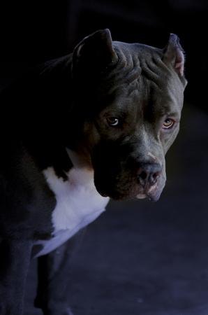 pitbull dog Zdjęcie Seryjne