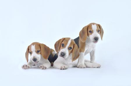 beagle: beagle dog family