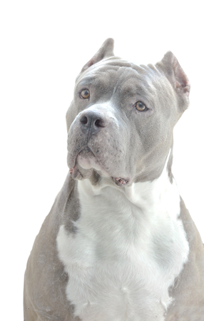 American pit bull dog  face 版權商用圖片