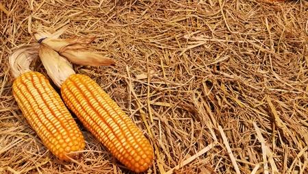 Corn on straw background