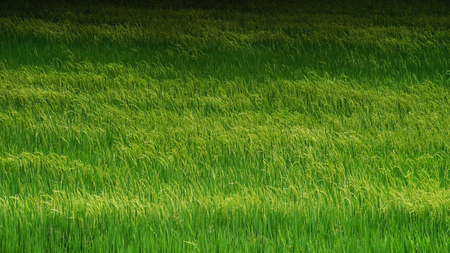 Green rice field .Background agriculture Zdjęcie Seryjne