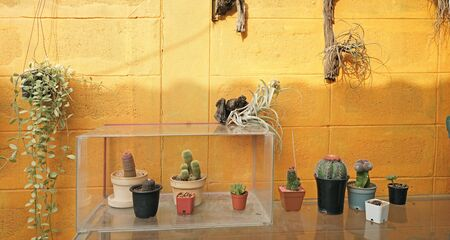 Cactus tree decoration in home garden