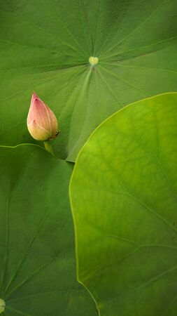 Lotus flower in the morning.Nature background closeup