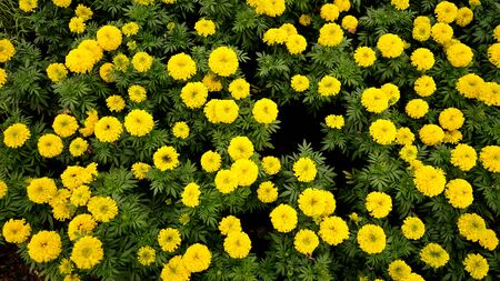 yellow flower field background .natural background
