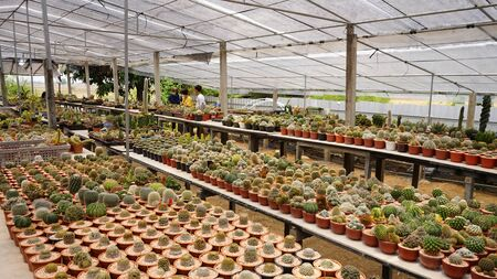 cactus tree in garden farm .desert tree Stock fotó - 146194269