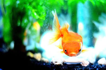 oranda: gold fish 3