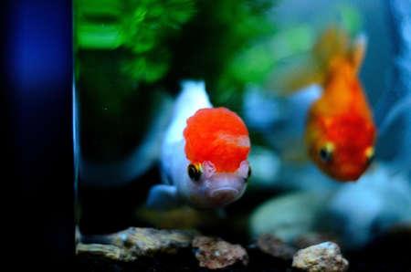 oranda: pesce d'oro 2