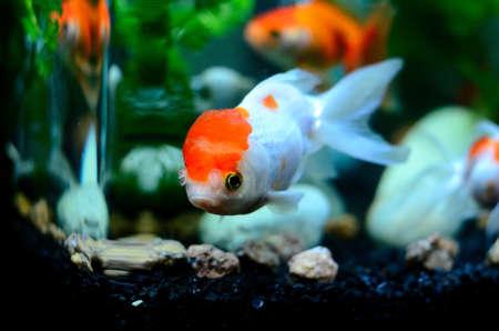 oranda: gold fish 1