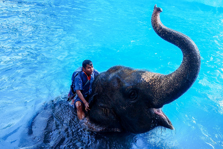 Chonburi, Thailand - November 27, 2016: Elephant and mahout show swimming and diving in Khao Kheow Open Zoo.