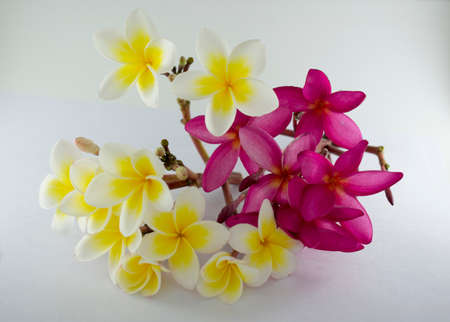 Plumeria flowers isolated on the white background. Banque d'images