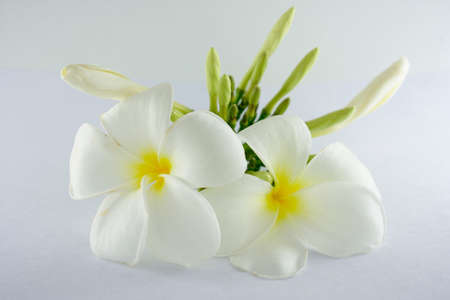 Plumeria flowers isolated on the white background.