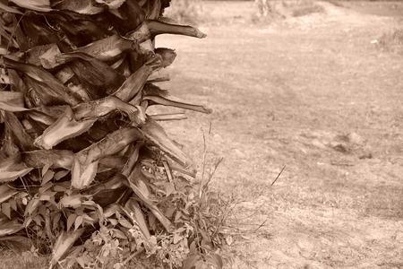 Sugar palm. Retro Stock Photo
