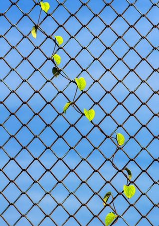chainlink: plant growing on the chainlink fence