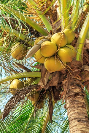 Coconuts and palm fronds of a tree photo