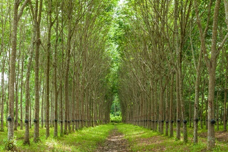 Rubber tree background, Thailand, Southeast Asia photo
