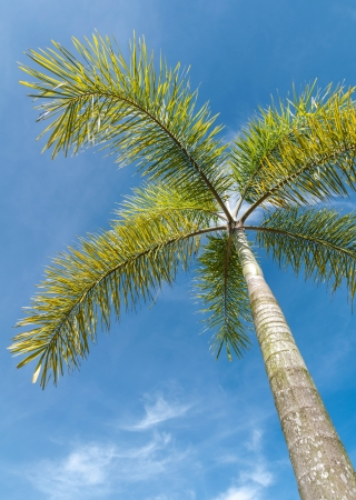 Foxtail palm or Wodyetta bifurcata in thailand species and blue sky photo