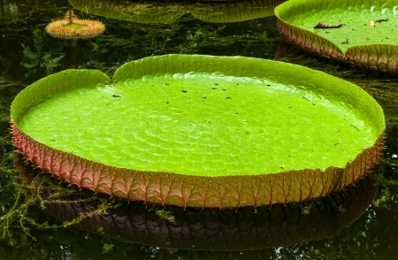 giant leaves of the Victoria waterlily floating on a garden pond photo