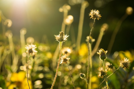 yellow flowers and grass at sunsets photo