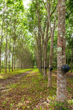southeast asia: Rubber tree, Thailand, Southeast Asia Stock Photo