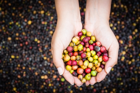coffee tree: coffee beans in hands