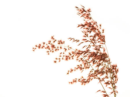 brown grass on white  Stock Photo