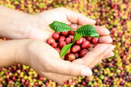 young coffee tree and coffee beans in hands