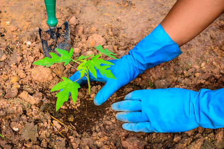Planting a young papaya tree in the garden