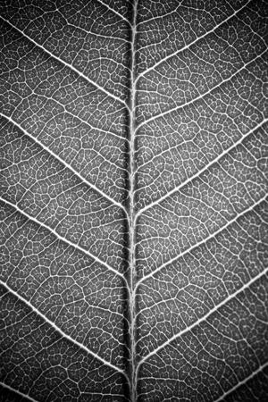 textura de la hoja efecto blanco y negro blanco