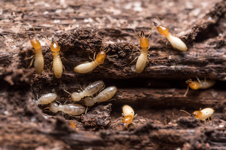 Close up termites or white ants Banque d'images