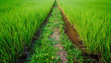 dry leaf: paddy field