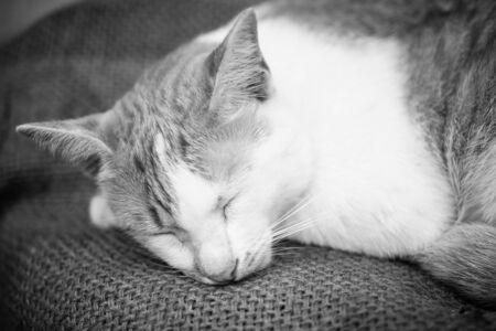 close up of face thai cat