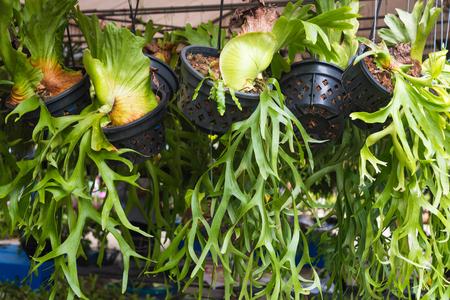 tropical native fern: Platycerium, staghorn fern Stock Photo