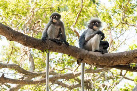 dusky: Dusky Leaf Monkey, Dusky langur, Spectacled langur
