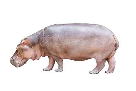 Isolated hippopotamus on white background