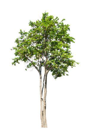 tree on isolate white background