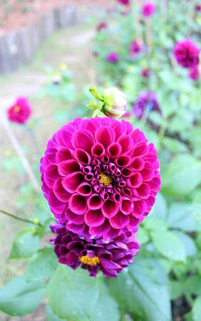 Large purple flowers in a garden plot
