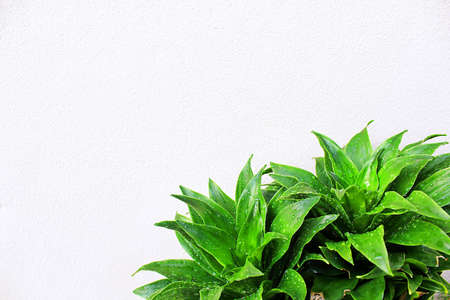 Dracaena fragrans with water droplets that leave the walls white background. Stock Photo