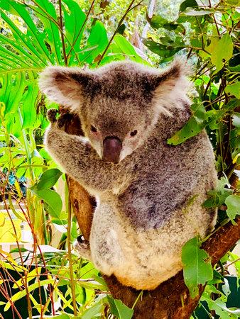 A cute koala bear, disambiguation or Phascolarctos cinereus, relaxing on eucalyptus tree with green leafs in the zoo, Australia.